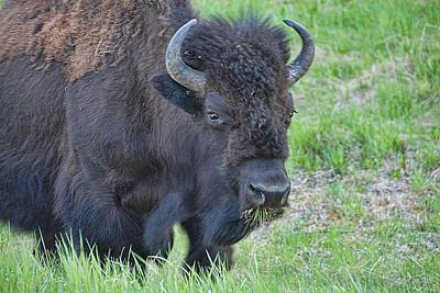 Photograph - Bull Bison by Dyle   Warren