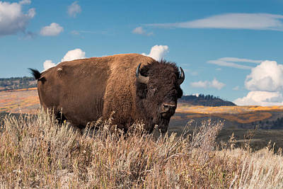 Photograph - Bull Bison In The Grand Tetons by Kathleen Bishop