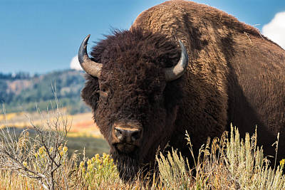 Photograph - Bull Bison by Kathleen Bishop
