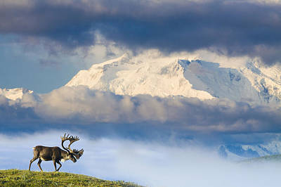 Bull Caribou Walks On Tundra Ridgeline Art Print by Michael DeYoung