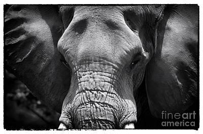 Photograph - Bull Elephant by John Rizzuto