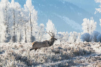 Art Print featuring the photograph Bull Elk At Winter Dawn by Yeates Photography
