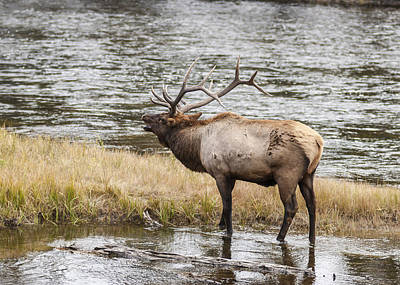Photograph - Bull Elk Bugling 2 by Lee Kirchhevel
