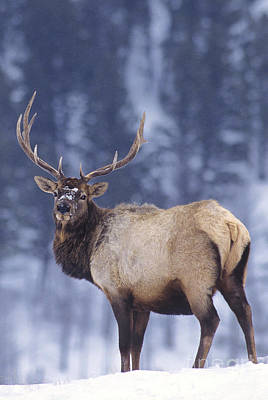 Photograph - Bull Elk Cervus Elaphus Wild Yellowstone National Park by Dave Welling