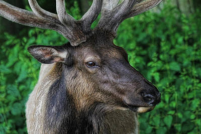 Elk In Velvet Photograph - Bull Elk Close Up by Steve McKinzie