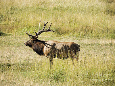 Animals Photograph - Bull Elk  by Deniece Platt