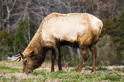 Elk Digital Art - Bull Elk Grazing by Chris Flees
