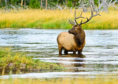 Photograph - Bull Elk In The Madison by Greg Norrell