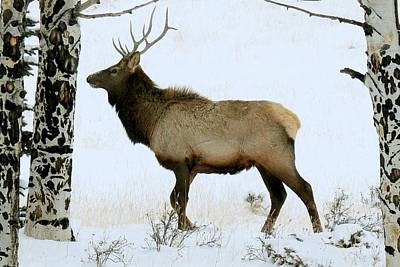 Photograph - Bull Elk In The Snow by Marilyn Burton