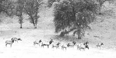 Bull Elk With Harem Art Print