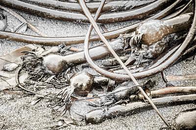 Photograph - Bull Kelp Ashore  by Roxy Hurtubise