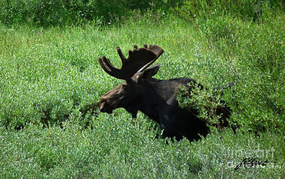 Bull Moose 1 Art Print
