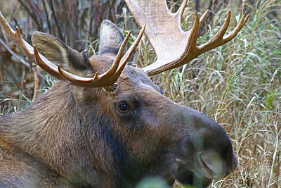 Photograph - Bull Moose 1 by Jon Emery