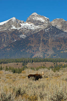 Photograph - Bull Moose And Mountains by Lee Kirchhevel
