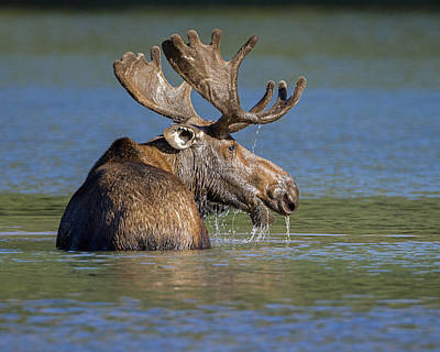 Photograph - Bull Moose At Fishercap by Jack Bell