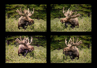 Bo Insogna Photograph - Bull Moose Collage by James BO  Insogna