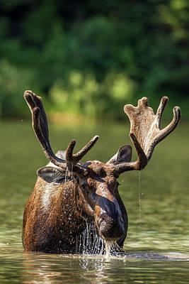 Feeding Photograph - Bull Moose Feeding In Backcountry Lake by Chuck Haney