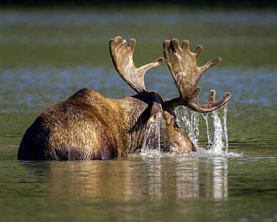 Photograph - Bull Moose Feeding In Mountain Lake by Jack Bell