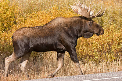Photograph - Bull Moose Grand Teton National Park by Fred Stearns