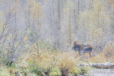 Photograph - Bull Moose In A Snowstorm by Deby Dixon
