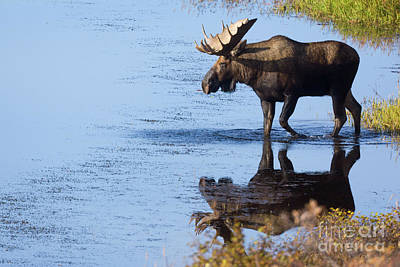 Photograph - Bull Moose In Pond Denali National Park by Yva Momatiuk John Eastcott
