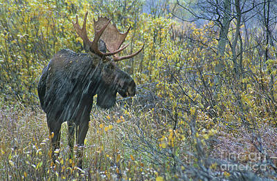 Photograph - Bull Moose In Snowstorm Wyoming by Dave Welling