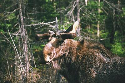 Bull Moose In Spring Art Print