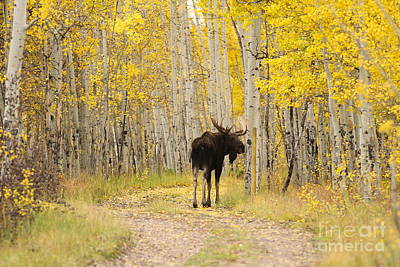 Photograph - Bull Moose In The Aspens by Kate Purdy