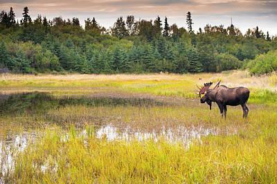 Bull Moose In Velvet Wades In Marshy Art Print by Michael Jones