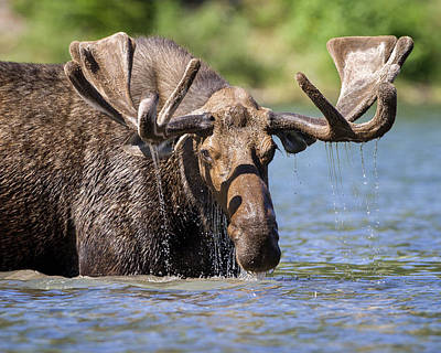 Photograph - Bull Moose by Jack Bell