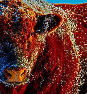 Bull On Ice Art Print by Amanda Smith