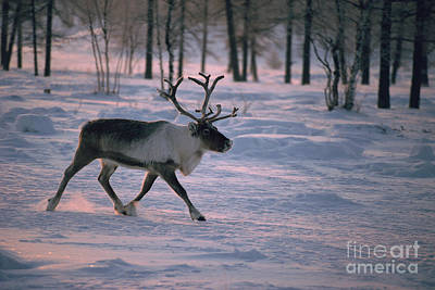 Photograph - Bull Reindeer In  Siberia by Bryan and Cherry Alexander