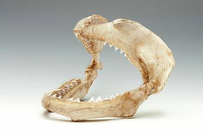 Bite Photograph - Bull Shark Jaws by Ucl, Grant Museum Of Zoology