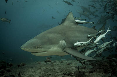 Photograph - Bull Shark With Ramoras by J Gregory Sherman
