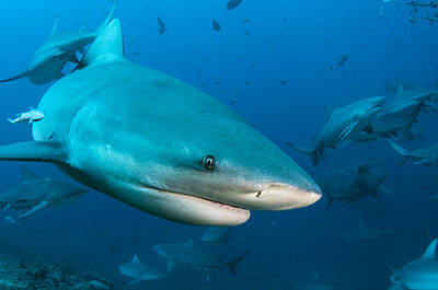 Nurse Shark Photograph - Bull Sharks In Beqa Lagoon Viti Levu by Pete Oxford
