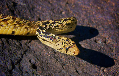 Photograph - Bull Snake by Britt Runyon