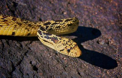 Photograph - Bull Snake by Britt Runyon