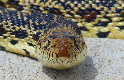 Photograph - Bull Snake Stare by Thomas Samida
