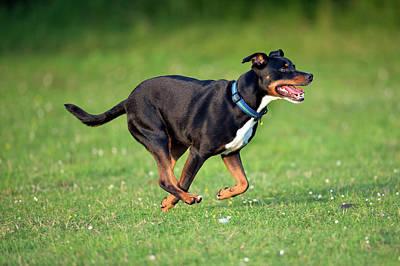Bull Terrier Crossbreed Dog Art Print by Simon Booth