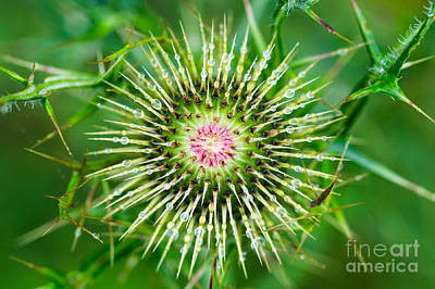 Photograph - Bull Thistle Prebloom by Anthony Heflin