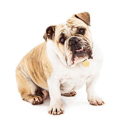 Bulldog Looking Attentive  Art Print