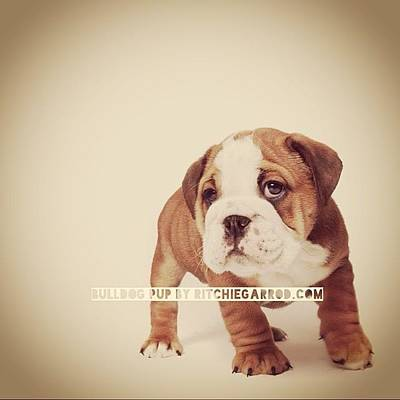 Bulldog Pup Art Print by Ritchie Garrod