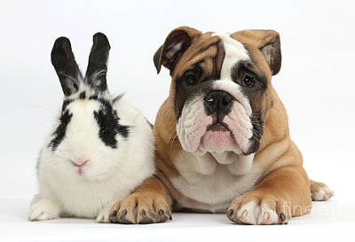 Photograph - Bulldog Puppy With Rabbit by Mark Taylor