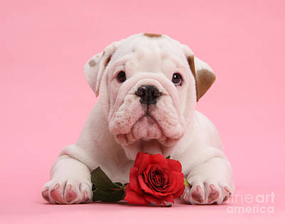 Photograph - Bulldog Puppy With Red Rose by Mark Taylor
