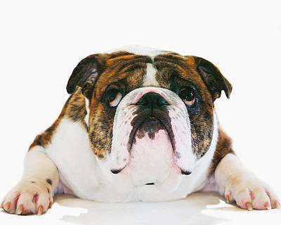 Dog Lovers Photograph - English Bulldog - Dog - Pet by SharaLee Art