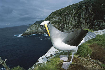 Bullers Albatross At Potential Nest Art Print by Tui De Roy