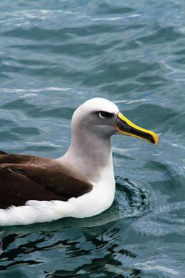 Albatross Photograph - Buller's Albatross (thalassarche Bulleri by Micah Wright