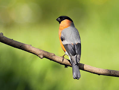 Photograph - Bullfinch by Grant Glendinning