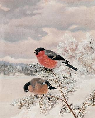 Bullfinch Wall Art - Painting - Bullfinches by Celestial Images