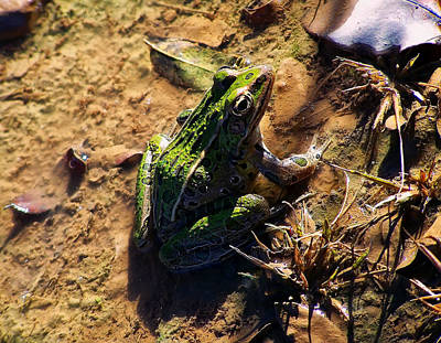 Amphibians Digital Art - Bullfrog 2 by Chris Flees